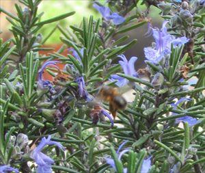 ミツバチ_R