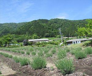 オカムラサキ畑 (2)_R