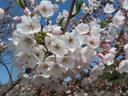 3/29 桜