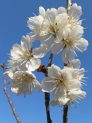 3/30 暖地桜桃