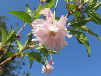 4/21 八重富士桜