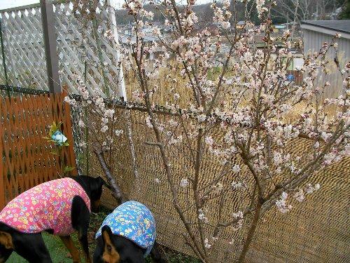 201503161416サクランボの木と