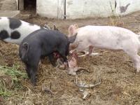 豚さんの運命+(3)_convert_20140705175350