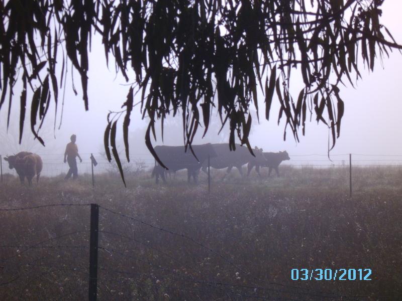 朝焼けの中を家畜と歩く