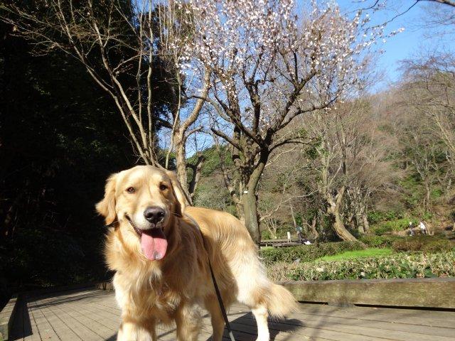 2015.3.30桜 005