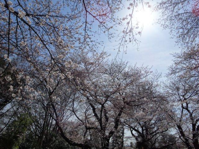 2015.3.30桜 007
