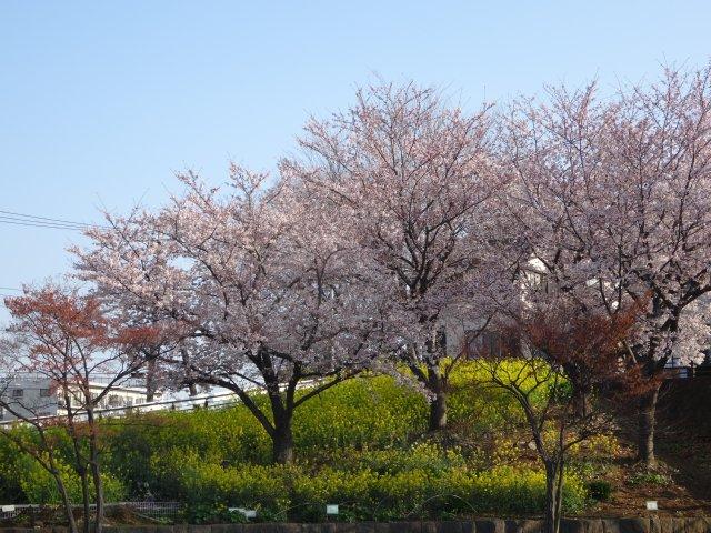 2015.3.30桜 010