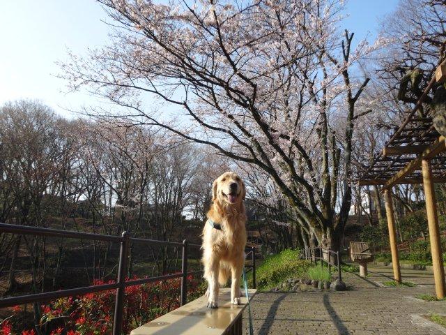 2015.3.30桜 011