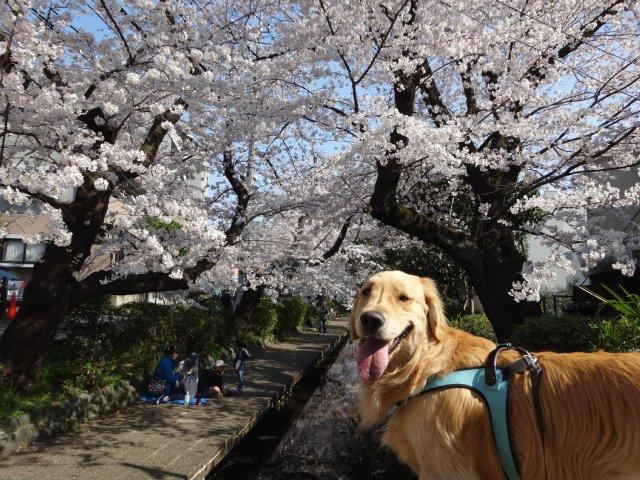 2015.3.30桜 014