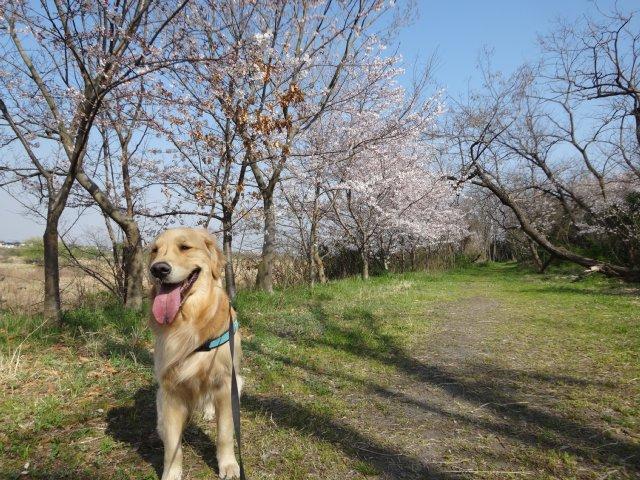 2015.3.30桜 020