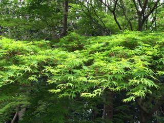 新緑モミジ2015.4.21