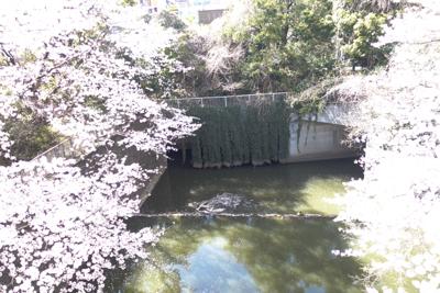 桜見に行って来たよ〜