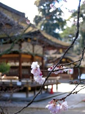 平野神社十月桜1502
