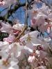 円山公園桜1503