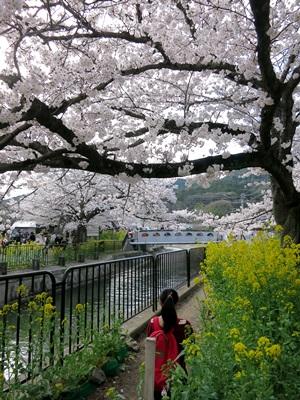 山科疎水桜1504