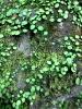 嵐山石垣の緑1505
