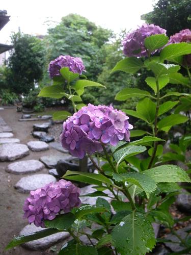 150619_紫陽花