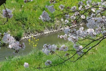 なの花と桜