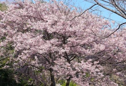 河津桜ではありません