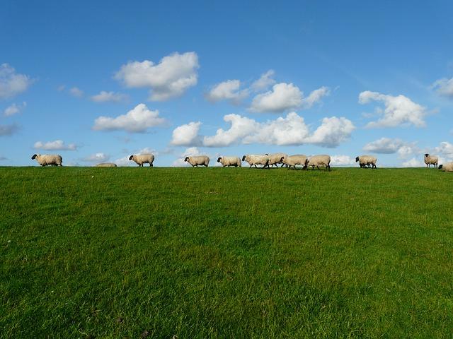 sheep-57706_640.jpg