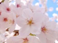 BL150402成田山の桜3#SCF4132