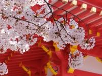BL150402成田山の桜1#SCF4135