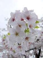 BL150403香里団地の桜並木2#SCF4149