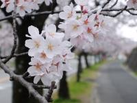 BL150403香里団地の桜並木1#SCF4142