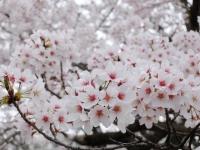 BL150403香里団地の桜並木3#SCF4151