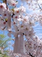 BL150404成田山の桜1#SCF4171
