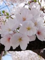 BL150404成田山の桜3#SCF4176