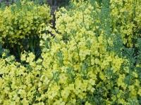 BL150409菜の花畑1DSCF4388