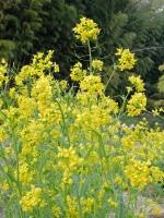 BL150409菜の花畑2DSCF4382