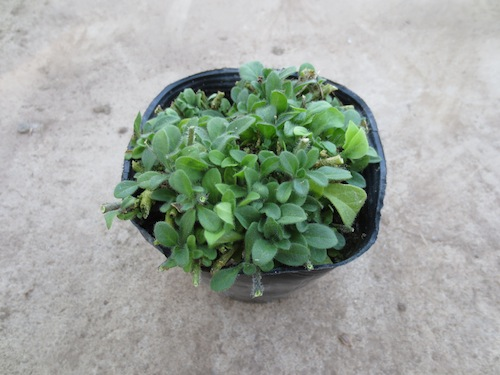 ペチュニア Petunia 交配 育種 品種改良 宿根  生産 販売 松原園芸