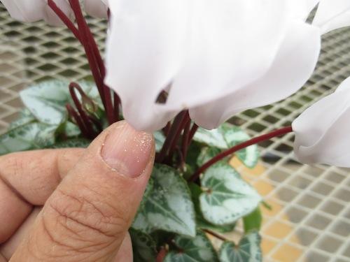 シクラメン Cyclamen persicum 交配  育種 生産 販売 松原園芸 直売
