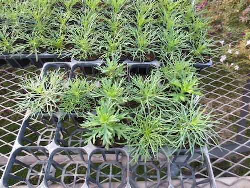 マーガレット 実生 交配系統 育種 生産 販売 松原園芸 Argyranthemum frutescens