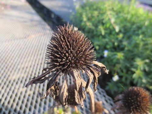 エキナセア 種子 Echinacea  育種 生産 販売 松原園芸