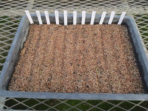 マーガレット 野生種 実生 発芽  育種 生産 販売 松原園芸 Argyranthemum