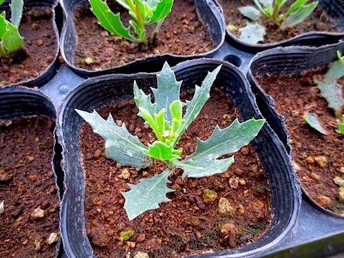 オステオスペルマム Osteospermum  育種 生産 販売 松原園芸
