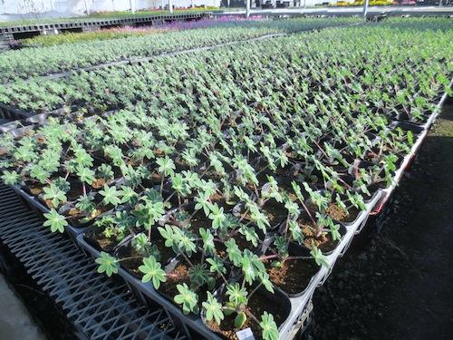 傘咲きルピナス Lupinus hirsutus 傘葉ルピナス(カサバルピナス)生産 販売 松原園芸