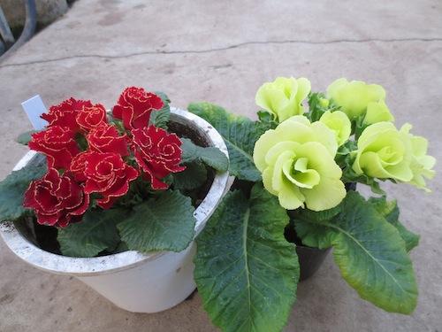 プリムラ ポリアンサ バラ咲き  育種 生産 販売 松原園芸