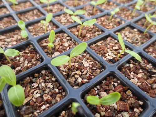 ニチニチソウ 種子 Catharanthus roseus 交配  生産 販売 松原園芸 直売