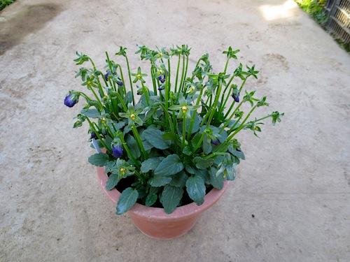 パンジー ビオラ 交配 Viola 育種 品種改良 生産 販売 直売 松原園芸