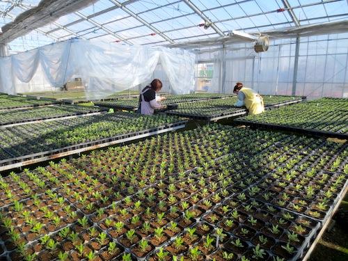 オステオスペルマム Osteospermum ピンチ 育種 生産 販売 松原園芸