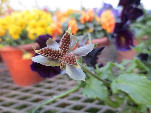 パンジー Viola 育種 品種改良 生産 販売 松原園芸 種子