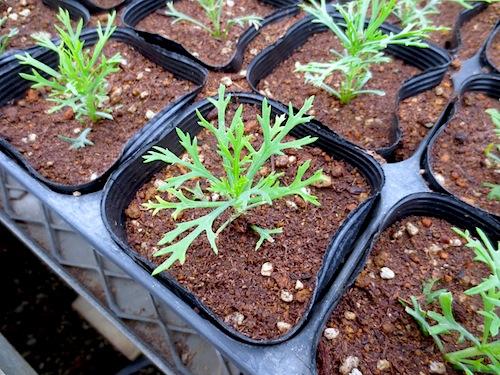 マーガレット ぽぽたん ピンチ 育種 生産 販売 松原園芸 Argyranthemum frutescens