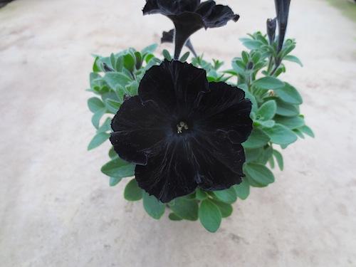 ペチュニア Petunia 新品種系統 育種  生産 販売 松原園芸