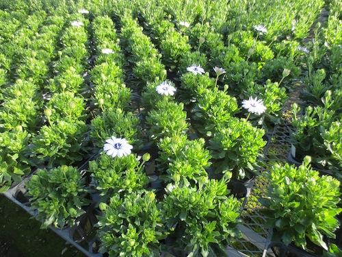 オステオスペルマム 新品種 Osteospermum 育種 生産 販売 松原園芸