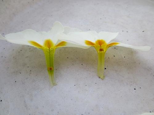 プリムラ ポリアンサ 肥後ポリアンサ 出荷 生産 販売 Primula polyantha サクラソウ科 松原園芸 異型花不和合性