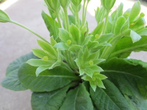 プリムラ ポリアンサ 肥後ポリアンサ 交配 育種 出荷 生産 販売 Primula polyantha サクラソウ科 松原園芸 異型花不和合性